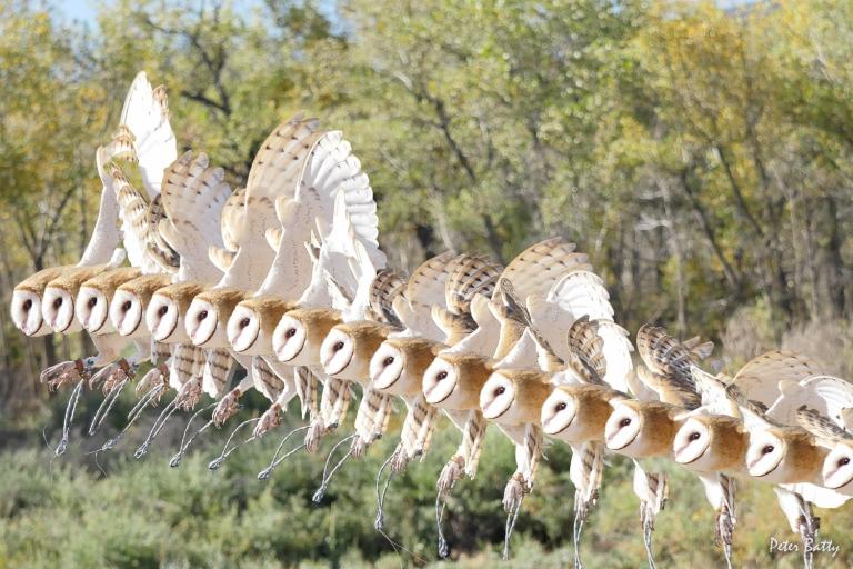 Owl composite 17