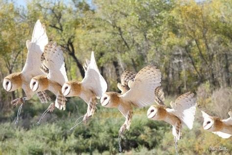 Owl composite 6