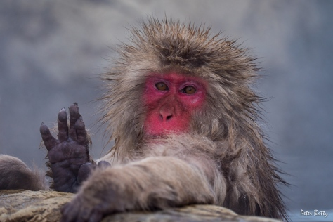 Hello snow monkey!