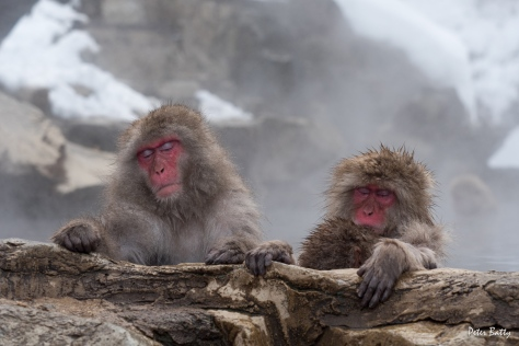 Relaxed snow monkeys!